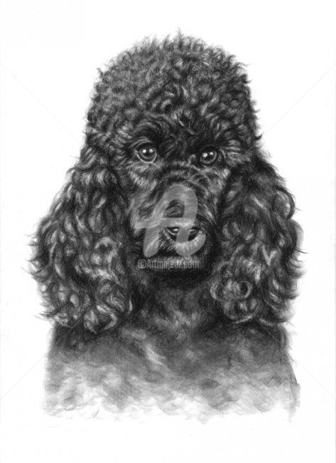 Poodle Portrait - Painting, ©2011 by Arts & Dogs -                                                                                                                                                                                                                                                                                                                                                                                                                                                                                                                                                                                                                                  Figurative, figurative-594, dog, hund, chien, poodle, pudel, portrait, drawing, zeichnung, charcoal, animal, tier