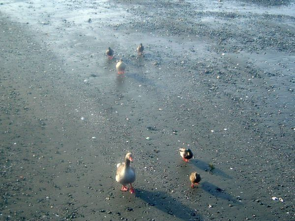 Ducks Walking On Beach Photography By