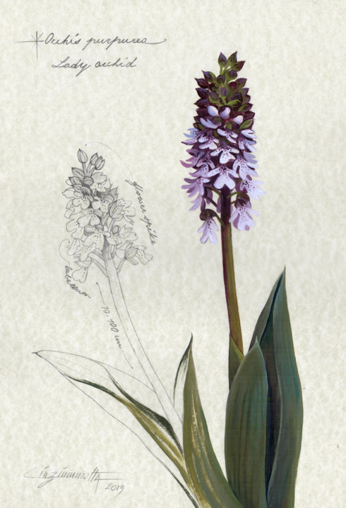 Orchis Purpurea - Zeichnungen,  13,8x9,7 in, ©2019 von Cinzia Marotta -                                                                                                                                                                                                                                                                                                                                                              Figurative, figurative-594, Botanik, botanical illustration, botanical drawing, oil on paper, wild orchid