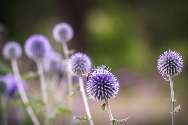 Chardons bleus - Photography ©2017 by Clémence Aresu -                                            Environmental Art, Flower, fleur, chardon, violet, bleu, fleurs, nature, jardin, abeille, flower, purple, blue, flowers, garden, bee