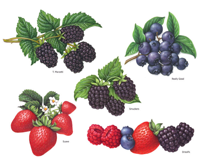 """Painting titled """"Berry Illustrations…"""" by Douglas Schneider, Original Art, Watercolor"""