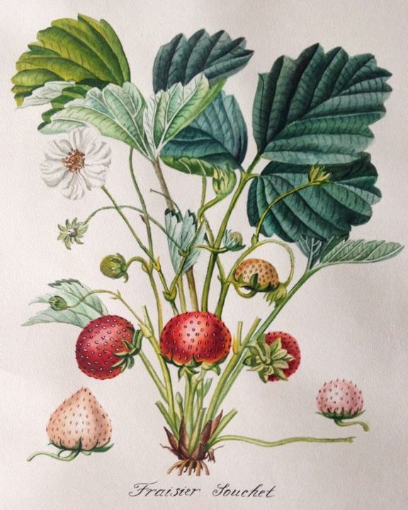 Botanical illustration. Strawberry - Malerei,  15,8x11,8 in, ©2018 von Elena Maslova -                                                                                                                                                                                                                                                                                                                                                                                                              Illustration, illustration-600, Baumwolle, Botanik, botanical, botanical illustration, watercolor, strawberry