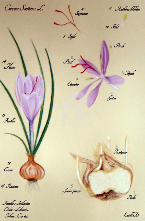 Crocus Sativus - Planche botanique - Drawing,  50x40 cm ©2017 by Estelle D -                                                                                                        Figurative Art, Botanic, Colors, Flower, Garden, Nature, Seasons, crocus sativus, planche botanique, dessin, pastel, safran, Bretagne, Morbihan, Estelled, Mauve, bulbe, épice, or rouge