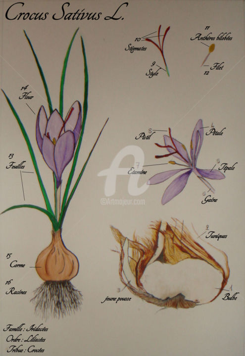 Crocus Sativus - Planche botanique 2 - Painting,  50x40 cm ©2017 by Estelle D -                                                                                            Figurative Art, Botanic, Flower, Garden, Nature, Seasons, planche botanique, crocus sativus, fleur, safran, bulbe, épice, Bretagne, Morbihan, Estelled, mauve, or rouge