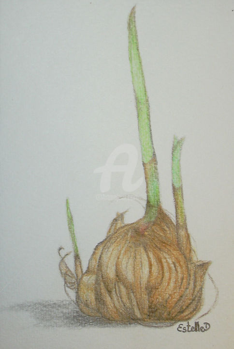 Crocus Sativus Renaissance Drawing By Estelle D Artmajeur