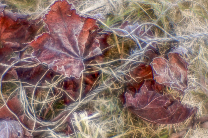 Morning frost - © 2017 Moscow, autumn, October., morning, leaves, maple, frost Online Artworks