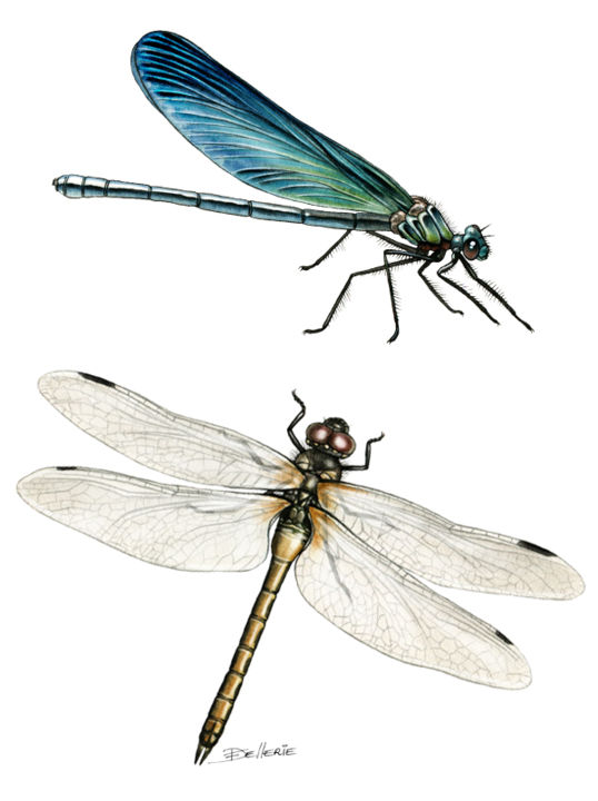 Demoiselle libellule illustrations animali res - Dessin de libellule ...