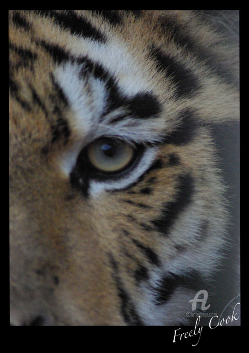"""Photography titled """"gros plan tigre"""" by Freely Cook, Original Art, Digital Photography"""