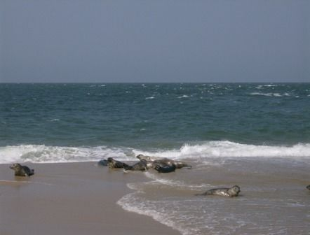The Seals on Great Point, Nantucket - Photography, ©2008 by Kathleen Reilly -