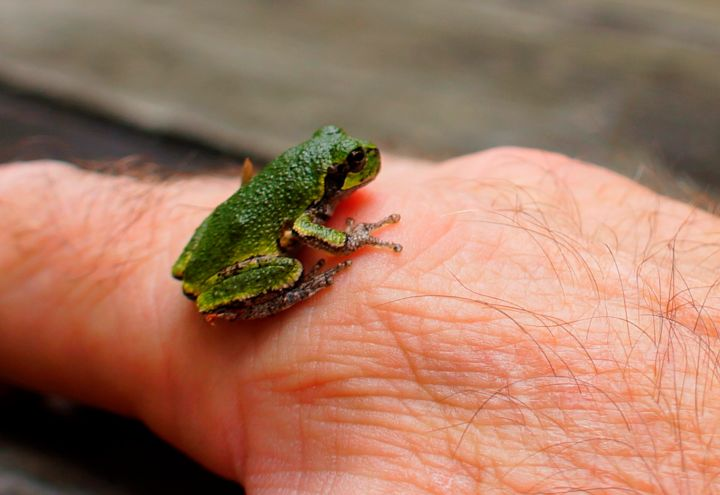 Friendly Frog - Photography ©2015 by George Grund -                                            Outsider Art, Animals, frog