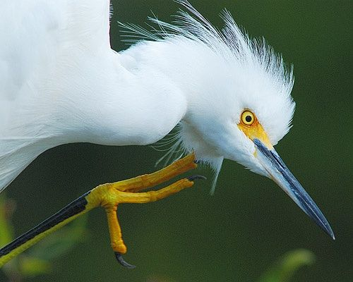 """Photography titled """"Snowy Egret with an…"""" by George Wilson, Original Art,"""