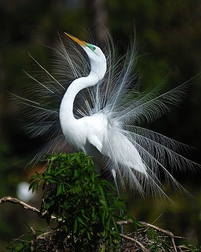 """Photography titled """"Great Egret Courtsh…"""" by George Wilson, Original Art,"""
