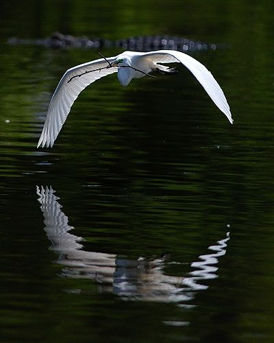 """Photography titled """"Great Egret in Flig…"""" by George Wilson, Original Art,"""