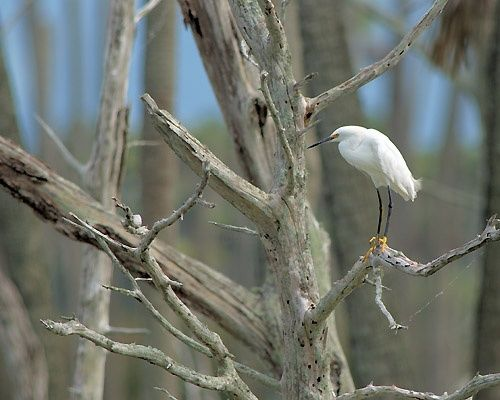 """Photography titled """"Snowy Egret in Dead…"""" by George Wilson, Original Art,"""