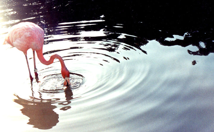 Swimming waves - Photographie, ©2013 par Gloria Steph Farfan P -                                                                                                                                                                                                  animales, flamingoes, flamingo, flamingos