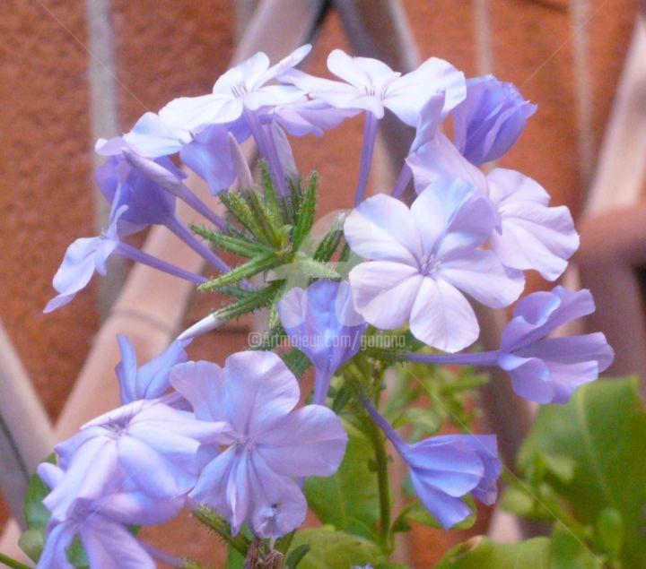 plumbago.jpg - ©  bellezza Online Artworks