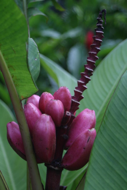 Purple Pink Tabacon - Photography ©2009 by Heart Art Rebecca -