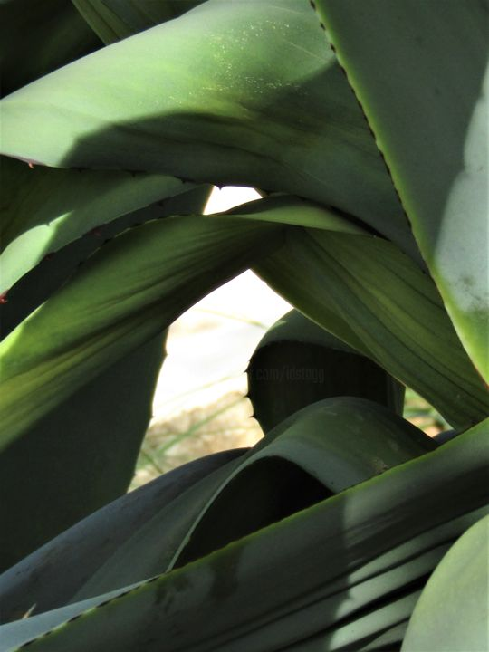 Agave 13.jpg - ©  agave, close up photography, openings, organic shapes and forms Online Artworks