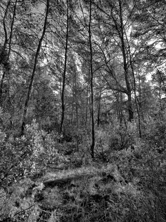 Under the Pines - Photography, ©2017 by Isabelle Stagg -                                                                                                                                                                                                                                                                                                                                                                                                                                                                                                                                                                                              Figurative, figurative-594, Aluminum, Black and White, Landscape, Nature, Tree, Pine woods, foret de pins, noir et blanc, photographie, Black and White