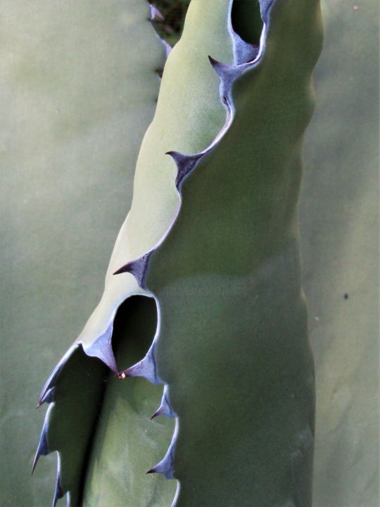 Agave 17 - Photography, ©2018 by Isabelle Stagg -                                                                                                                                                                                                                                                                                                                                                                                                                                                                                                                                                  Figurative, figurative-594, Aluminum, Botanic, Garden, Light, Nature, agave, digital photograph, organic forms, vegetal