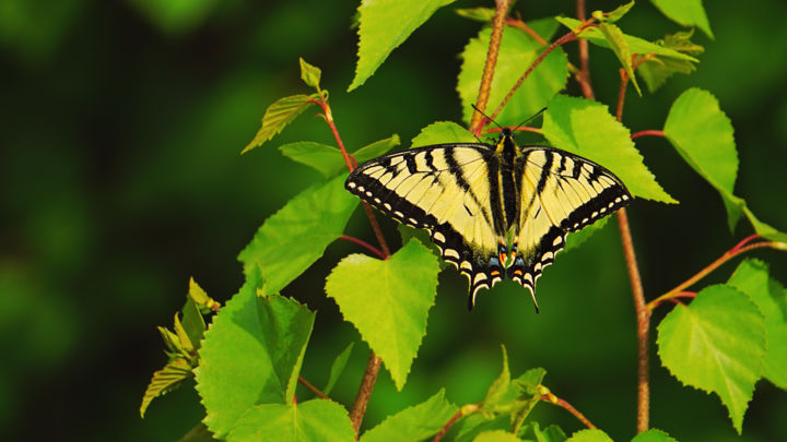 Tiger Swallowtail Butterfly Photography by igzotic | Artmajeur