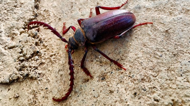 """Photography titled """"Longhorn Beetle"""" by Igzotic, Original Art, Digital Photography"""