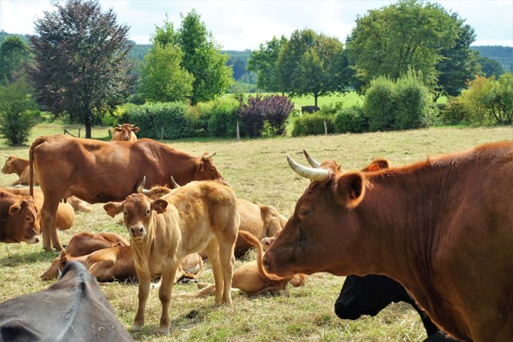 Maternelles Limousines. - Photography, ©2020 by Janie B. -                                                                                                                                                                                                                                                                                                              Figurative, figurative-594, Animals, Farm, Rural life, Cows