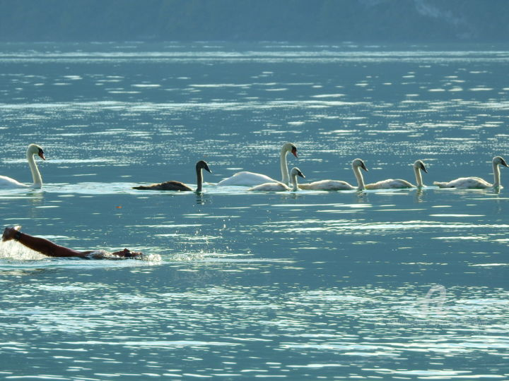Nage avec les cygnes - Photography ©2019 by jean-michel LIEWIG -                                        Animals, Nature, cygnes, cygneaux, nage, lac du bourget, liewig, jeanmichelliewig