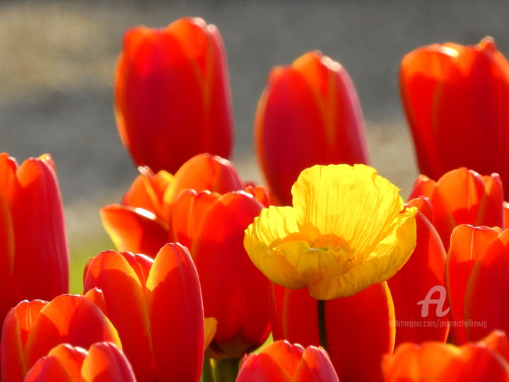 Tulipes printanieres - Photography ©2019 by jean-michel LIEWIG -                            Flower, tulipes, printemps
