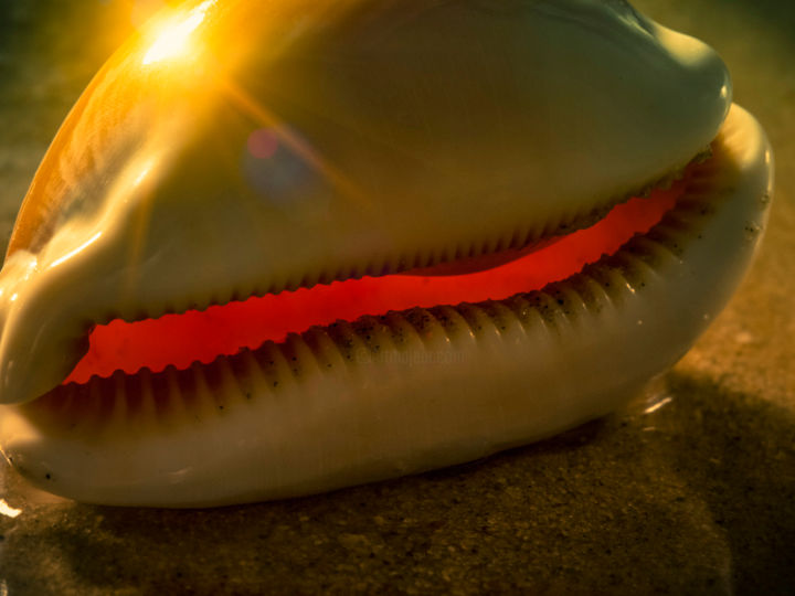 """Photography titled """"Golden Cowry"""" by John Manno, Original Art, Digital Photography"""