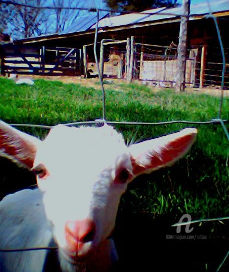 Goat Now - Photography, ©2007 by Hal Studholme -                                                              goat