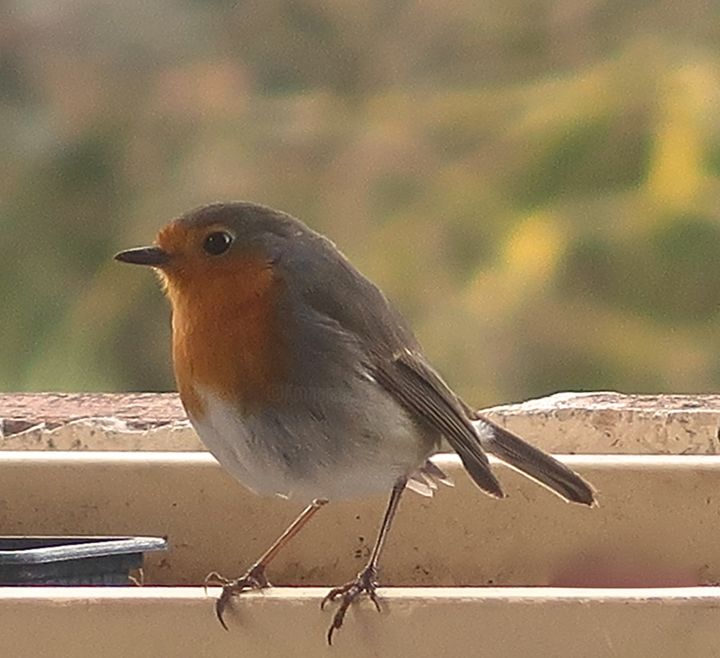 Robin, photography ( rouge-gorge ) - Photography, ©2018 by Liza Peninon -                                                              Birds