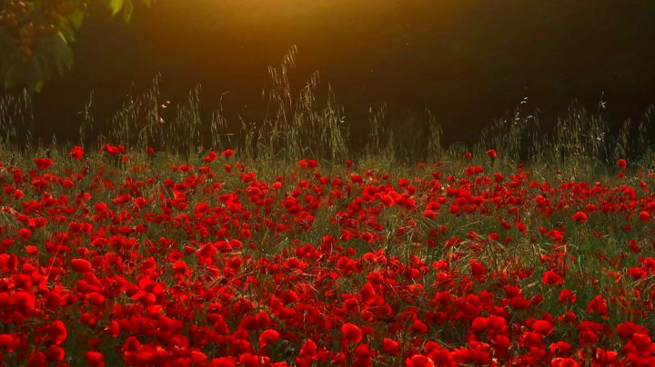 Poppies at Dawn, photography - Photography, ©2018 by Liza Peninon -                                                                                                          Light, Flower