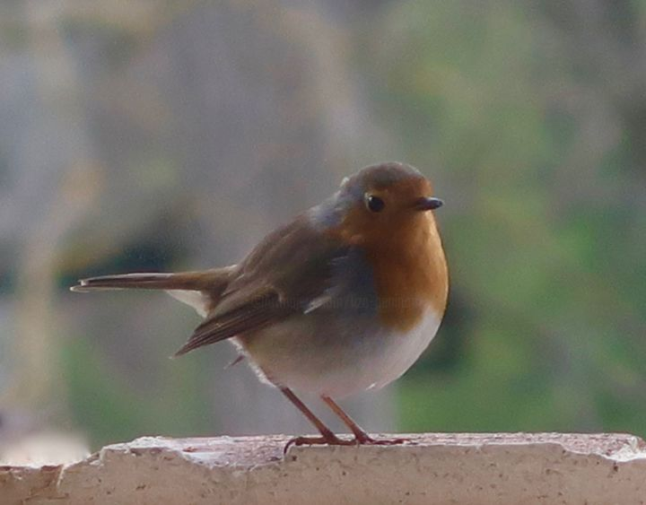 My little robin is back, photo - ©   Online Artworks