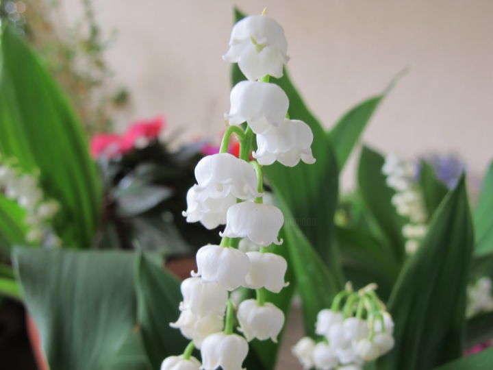 Lily of the Valley, photo - Photography, ©2017 by Liza Peninon -                                                              Flower