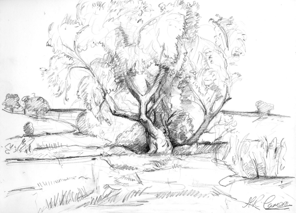 Old Willow Tree Drawing The Old Willow Tree Drawing