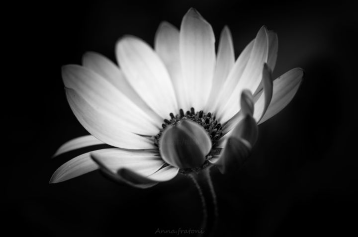 Freedom - Photography, ©2019 by Anna Fratoni -                                                                                                                                                                                                                                                                                                                                                                                                                                  Aerial, Botanic, Flower, Garden, Places, macro, flower, b&w, Black and White