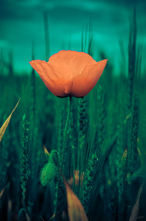 Coquelicot d'Or - Photography, ©2019 by Anna Fratoni -                                                                                                                                                                                                                                              artwork_cat.Colors, Flower, Places, Light, Nature