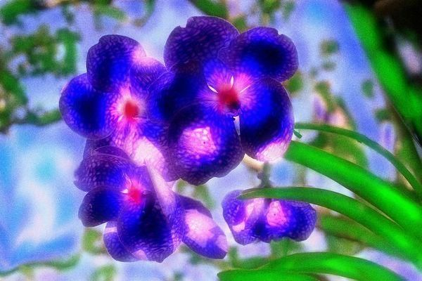 """Photography titled """"Purple vandas with…"""" by Miguel, Original Art,"""