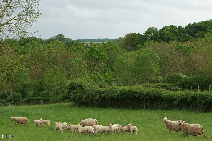 Colonie de vacance pour moutons - Photography ©2014 by Miodrag Aubertin -                                                    Animals, Rural life, Nature, Colonie de vacance, moutons, Semur en Auxois
