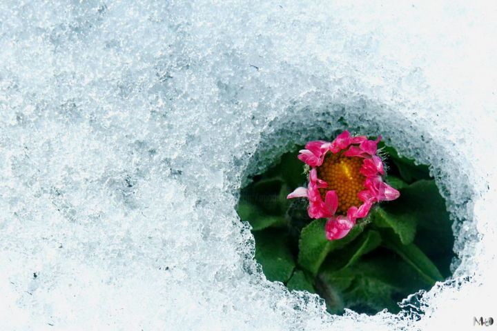 neige_04 - Photography ©2004 by Miodrag Aubertin -                                                                Colors, Flower, Places, Seasons, Neige, Fleur, Pontarlier, Doubs