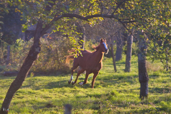 Cheval à Flée - Photography, ©2016 by Miodrag Aubertin -                                                                                                                                                                                                      Animals, Horses, Cheval, Côte d'Or