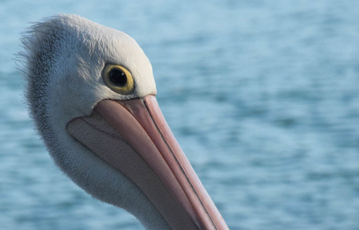 """Photography titled """"Pelican"""" by Naomie Norenrgh, Original Art,"""