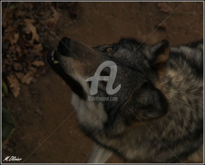 loup d'europe - Photography, ©2017 by M. Olivier -                                                                                                                                                                                                                                                                      Figurative, figurative-594, Animals, loups, loup