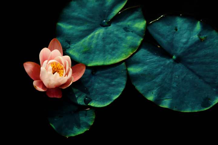 Dream n. 3 (limited edition 10) - Photography,  23.6x35.4x0.8 in, ©2009 by Cristina Gualmini -                                                                                                                                                                                                                                                                                                                                                                                                                                                                                                                                                                                                                                                                                  Figurative, figurative-594, Flower, water lily, flower, leaves, lake, nature, flora, photography, cristinagualminiphotography, special recognition, award, naxtia