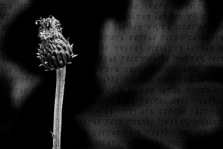 Alchemical flower n.1 (limited edition) - Photography, ©2018 by Cristina Gualmini -                                                                                                                                                                                                                                                                                                                                                                                                                                                                                                                                              Figurative, figurative-594, Flower, nature, flower, alchemy, black&white, photo, photography, bw, cristinagualminiphotography