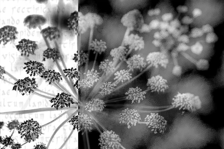 Alchemical flower n. 7 (limited edition) - Photography, ©2018 by Cristina Gualmini -                                                                                                                                                                                                                                                                                                                                                                                                                                                                                                                                              Figurative, figurative-594, Flower, flower, flowers, alchemy, black&white, bw, nature, flora, cristinagualminiphotography