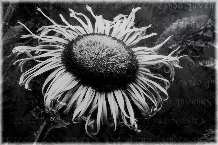 Alchemical flower n. 4 (limited edition 10) - Photography,  23.6x35.4x0.8 in, ©2018 by Cristina Gualmini -                                                                                                                                                                                                                                                                                                                                                                                                                                                                                                                                                                                                                                      Figurative, figurative-594, Flower, flower, alchemy, bw, black&white, b&w, photo, photography, fine art photography, cristina gualmini photography, vitriol