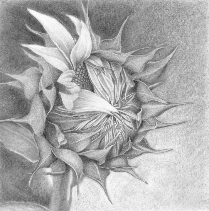 The Birth Of A Sunflower Drawing By Nives Palmic Artmajeur