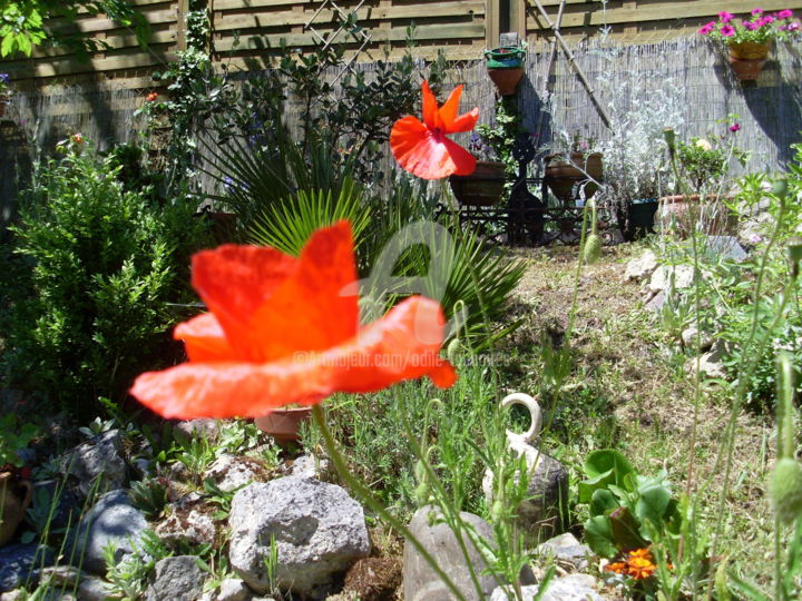 joli coquelicot du jardin 11 - Photography, ©2008 by Odile Tachoires -                                                                                                              Garden, coquelicots